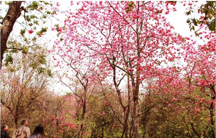 昆明樱花盛开,一点也不逊色于日本樱花